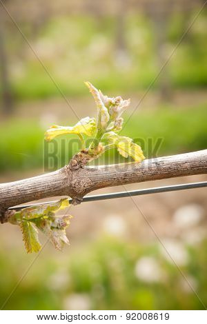 fresh yung plant of vine in slovenian Vineyard in early spring