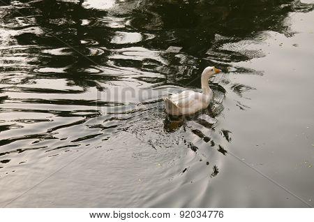 Duck Nine