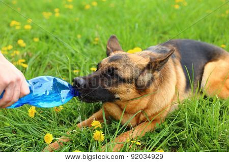 Dog drinking water