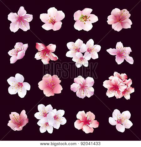 Set Of Flowers Of Cherry Tree Isolated