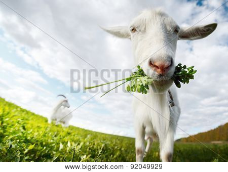 Close up shot of the goat with bunch of green lush grass on the summer meadow poster