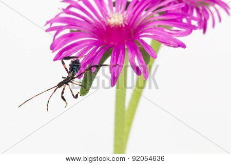 Wheel bug Juvenile on flower