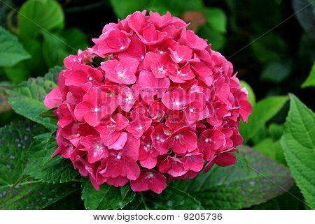 Pink Hydrandea