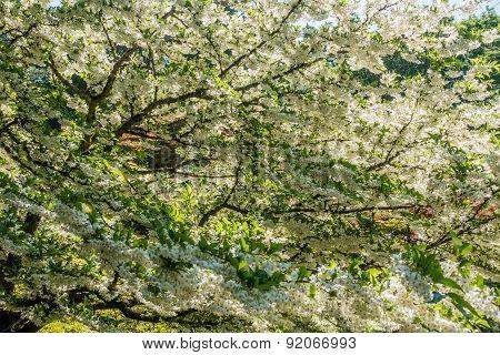 White Flower Profustion