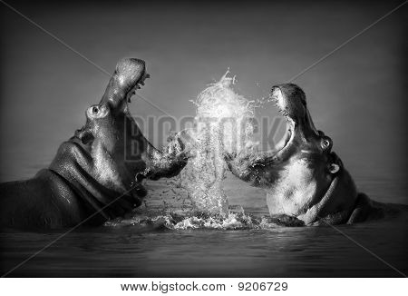 Hippo's Fighting