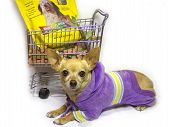 female chihuahua resting after a long day of shopping poster