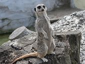 naturally comic looking and ever alert - a meerkat standing watch. (meerkat or suricates suricata suricatta a member of the mongoose family.) poster