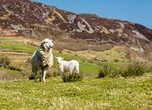 Sheep and lambs in fields and meadows of Welsh hill farm with mountains in the distance poster