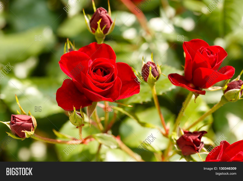 Beautiful flower red image photo free trial bigstock beautiful flower red rose and rose buds in flower garden izmirmasajfo