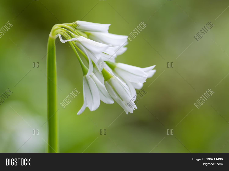 Three Cornered Garlic Image Photo Free Trial Bigstock
