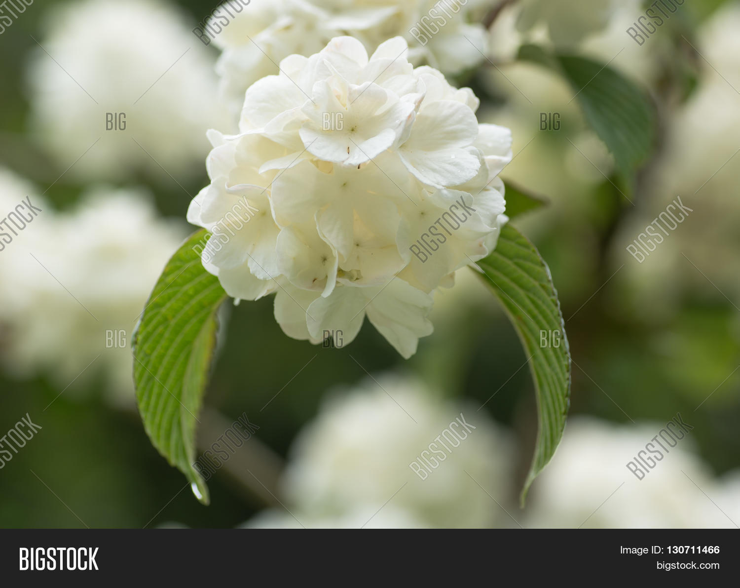 Japanese snowball bush image photo free trial bigstock japanese snowball bush viburnum plicatum f tomentosum sterile white lacecap mightylinksfo