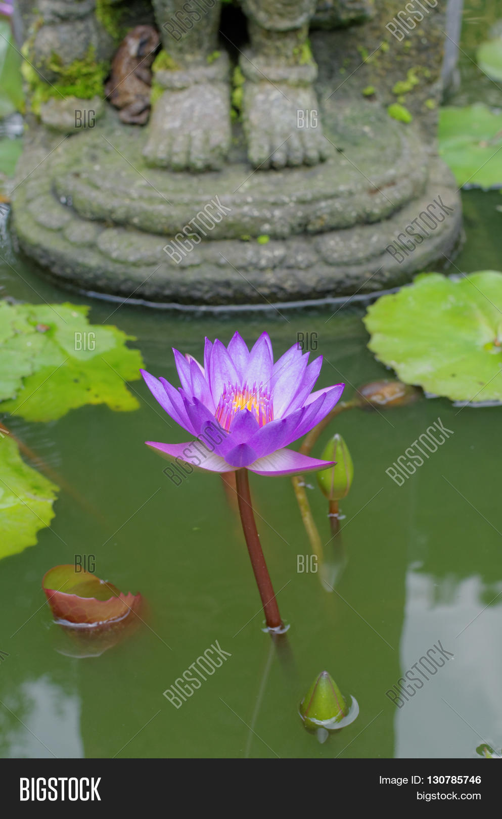 Lotus Flower Under Image Photo Free Trial Bigstock