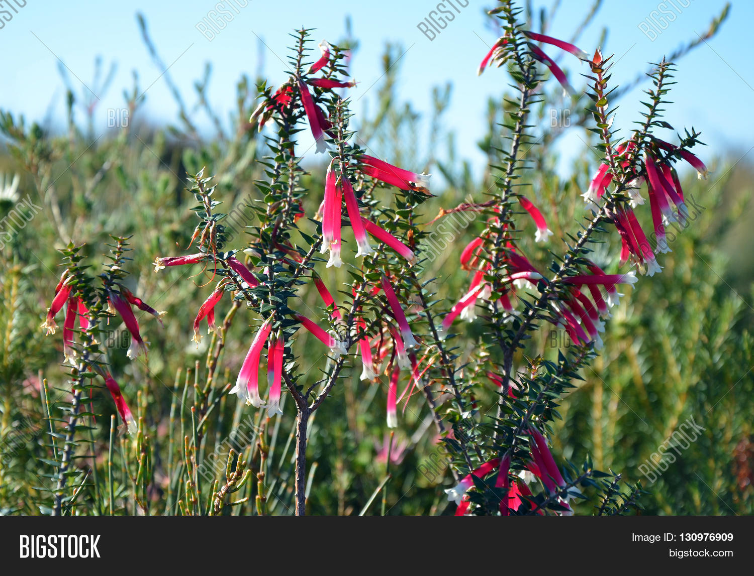 Pink Red White Bell Image Photo Free Trial Bigstock