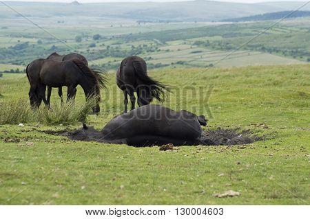 Wild horses rolling around in the mud
