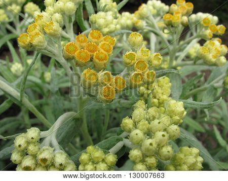 Curry flower, Helichrysum thianshanicum, in herb garden