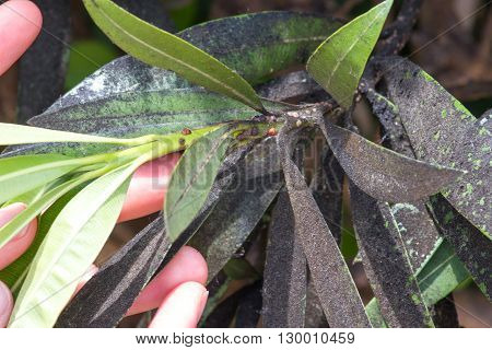 Oleander aphid struck. Plant insect mealybugs infestation