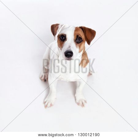 Dog at white background looking up
