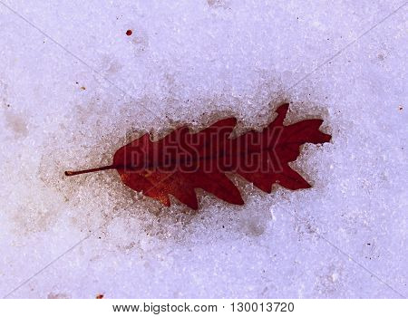 Red leaf fallen in the snow. Red leaf in winter.