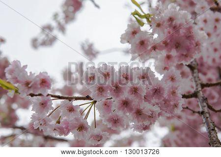 Pink sakura  Cherry blossom in japan flower  travel