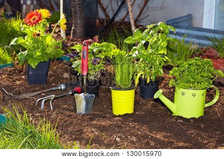 Parsley and  gardening tools in the garden.