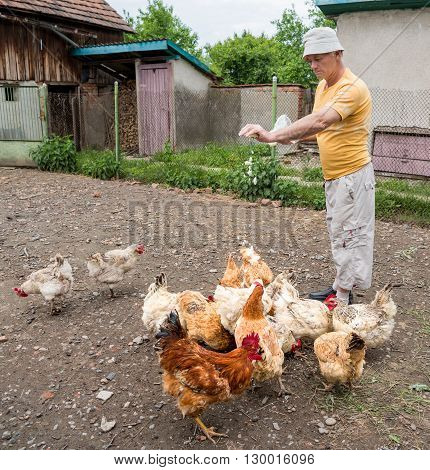 Farmer feeding the chickens in the poultry yard
