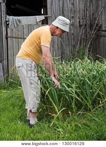 Farmer Harvesting Green Garlic