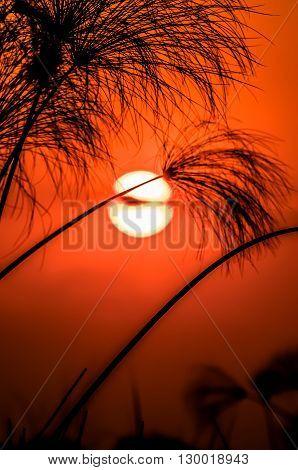 A setting sun in a red orange sky behind papyrus in the Okavango Delta Botswana.