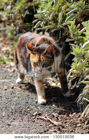 A tortoiseshell cat prowling alongside a hedge