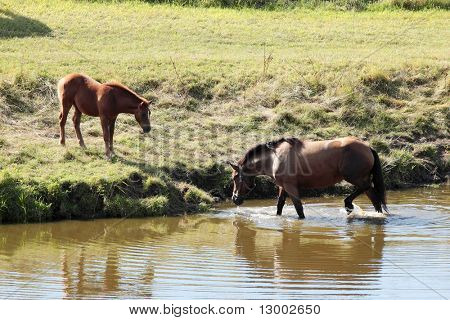 Young horses on field by the lake from Poland poster