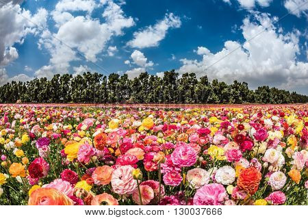 The colors of spring. Huge field of blossoming garden buttercups. Israeli kibbutz on the border with the Gaza Strip
