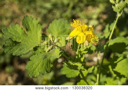 Blossom of the medicinal herb (Chelidonium majus) with flower and green sheet