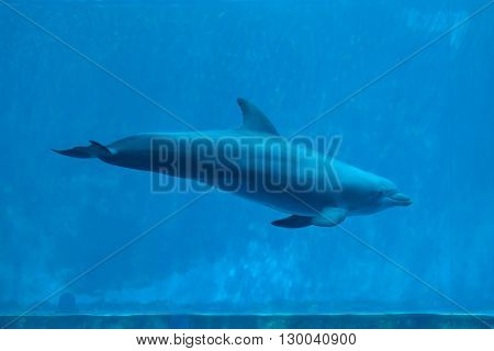 Common bottlenose dolphin (Tursiops truncatus). Wild life animal.