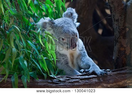 Queensland koala (Phascolarctos cinereus adustus). Wild life animal.