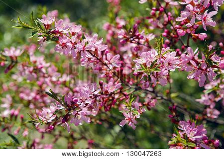 pink blooming ornamental shrub Almonds Low , Amygdalus nana, closeup, local focus, shallow DOF