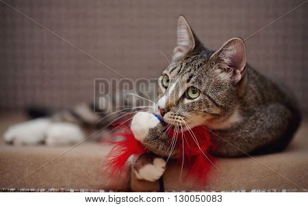 Striped domestic cat on a sofa plays with a toy.