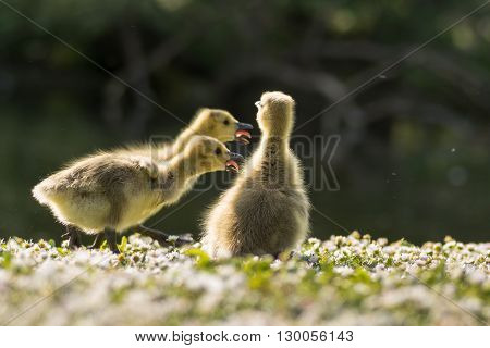 Canada goose (Branta canadensis) goslings calling. Three young chicks responding vocally to mother's voice showing tounges protruding from beaks