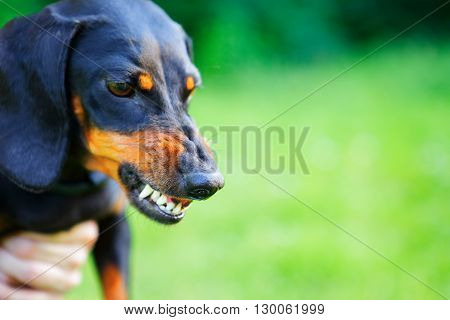 Aggressive Black Smooth-haired Dachshund Bared Its Teeth