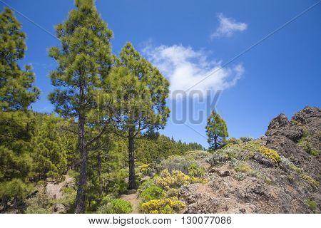 Gran Canaria, Canarian Pine Trees