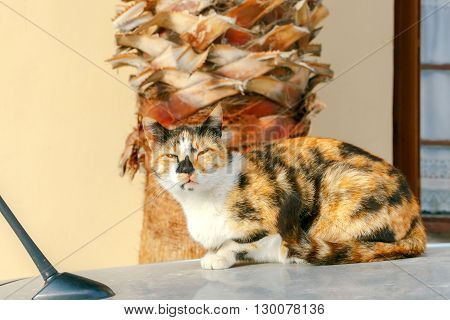 Beautiful cat tortie color lies on top of the car near the palm.