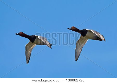 Two Common pochards (Aythya ferina) in flight with blue skies in the background