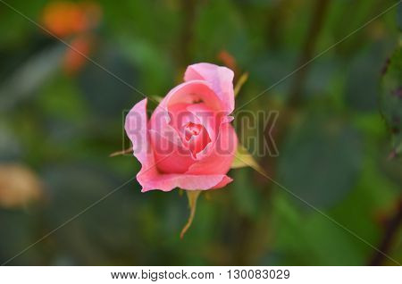centered makro of small pink rose with green leaves