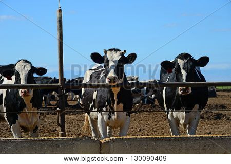 Cattle are feeding at a trough in a large Central California feed lot and dairy farm.