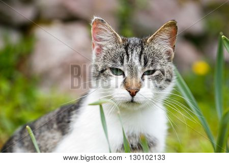 Domestic cat in nature enjoying freedom on a lookout prowling for mice. Wild pet animal freedom and rights animal cruelty concept.