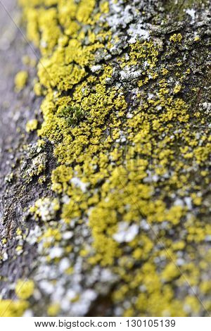 macro yellow moss on cortex tree for background