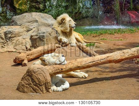 Beautiful lion coulpe sleeping in a zoo garden