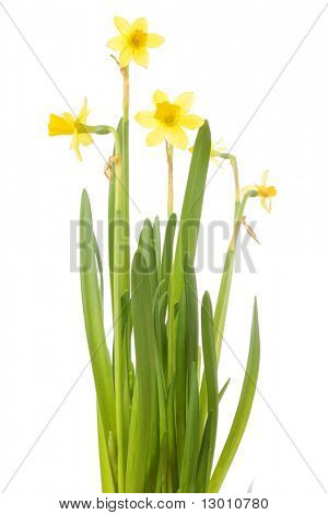 A bunch of daffodils (Narcissus jonquilla) isolated on white