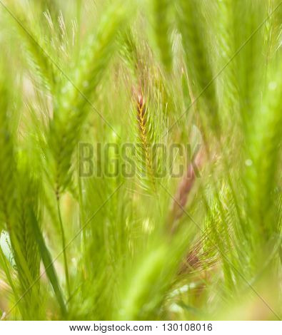 Flora Of Gran Canaria - Young Plants Of Hordeum, Barley