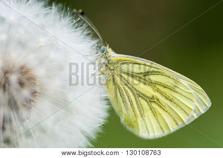 Green-veined white (Pieris napi) on dandelion seedhead. Butterfly in the family Pieridae at rest in a British woodland with wings closed in the rain