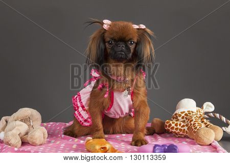 Portrait of Pekingese dog with pink dress on pink blanket and toys on gray background.