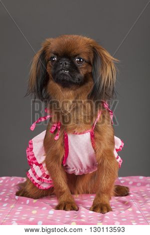 Portrait of Pekingese dog with pink dress on pink blanket on gray background.